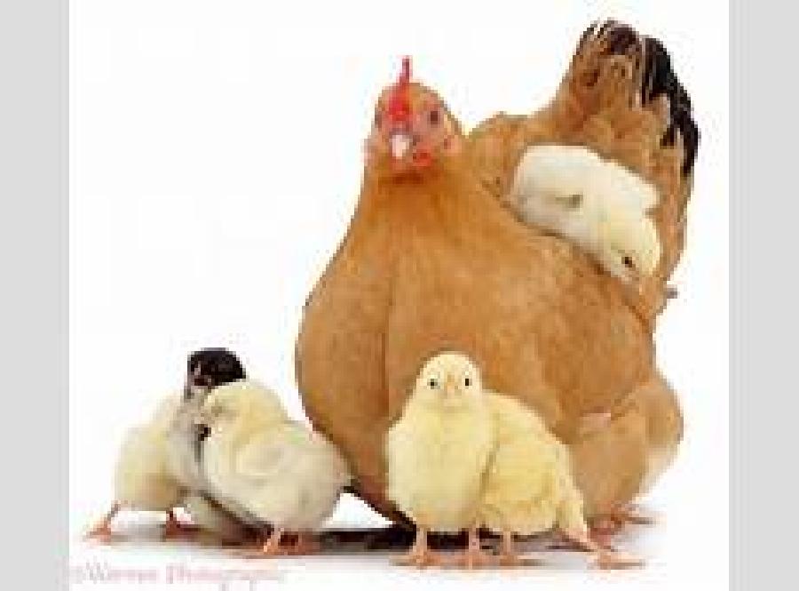 فروش نیمچه مرغ بومی