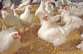 فروش مرغ تخم گذار(پولت)