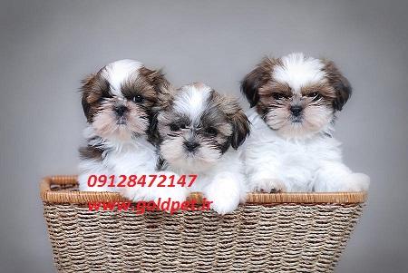 فروش سگ شیتزو