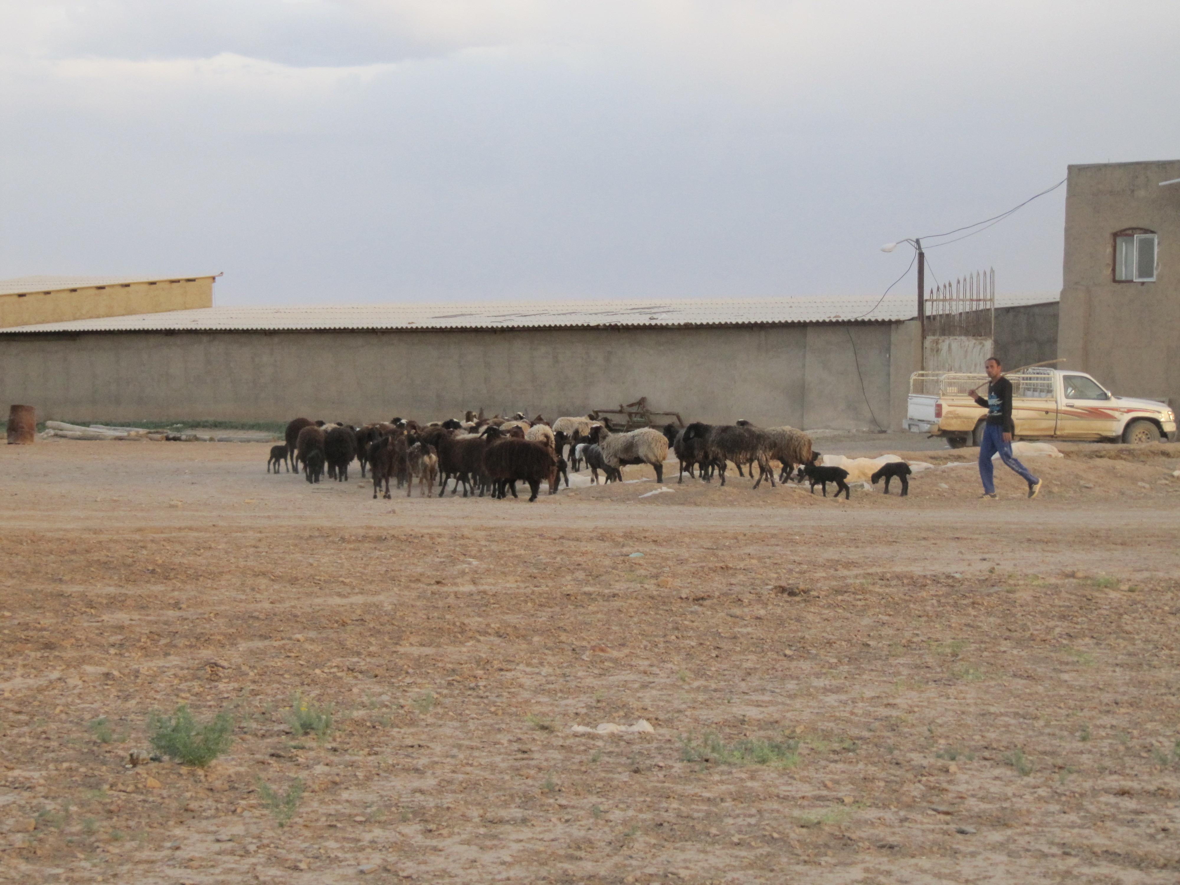 فروش دامداری گوسفند پرواری و داشتی