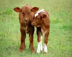 کارگاه پرواربندی گوساله