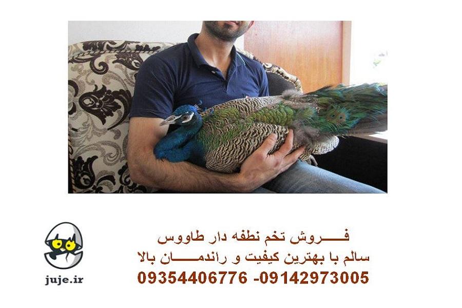 تخم نطفه دار طاووس، انواع نژادها