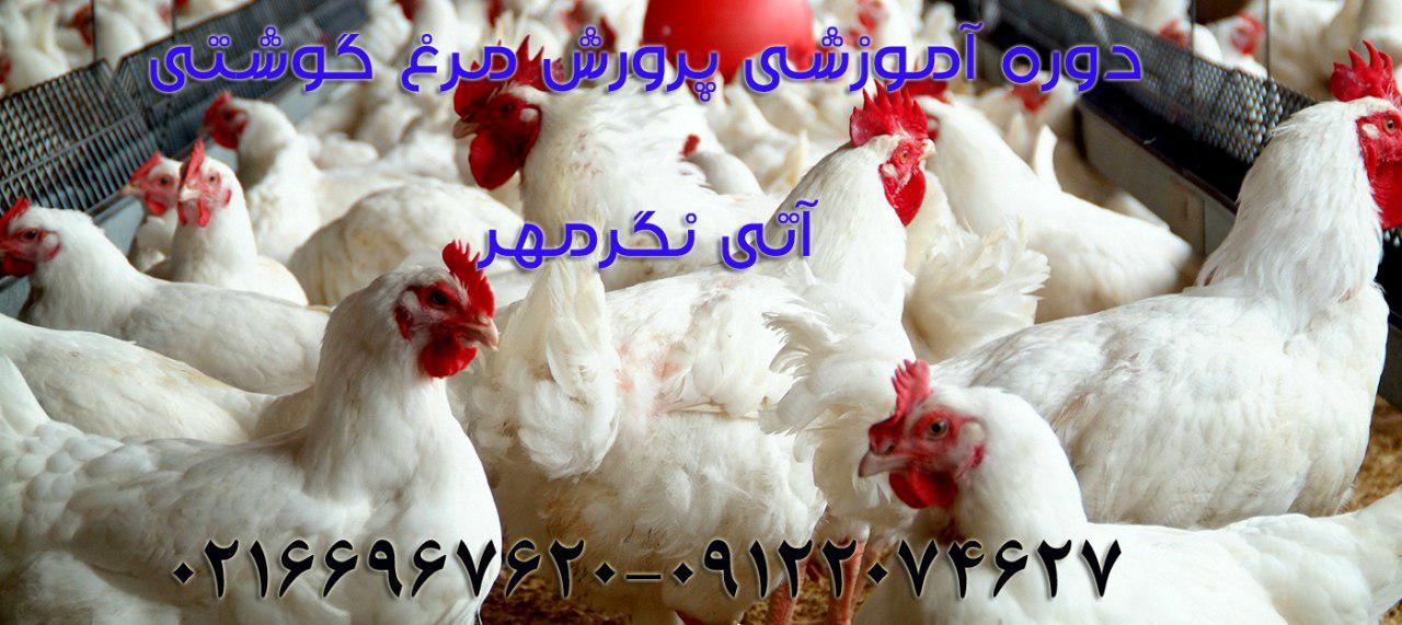 دوره آموزشی پرورش مرغ گوشتی