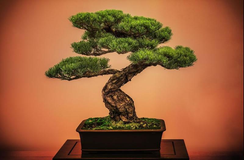 دوره آموزشی پرورش درختچه های بونسای