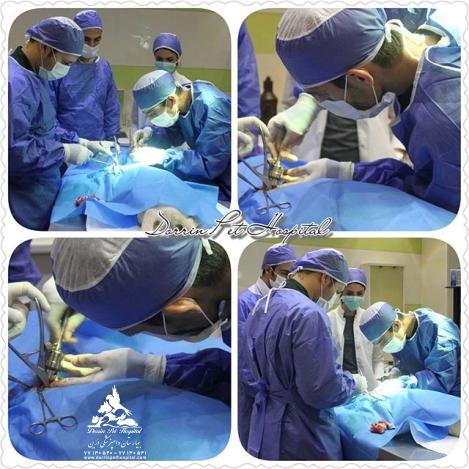 عقیم سازی و مامائی حیوانات خانگی بیمارستان دامپزشکی درین