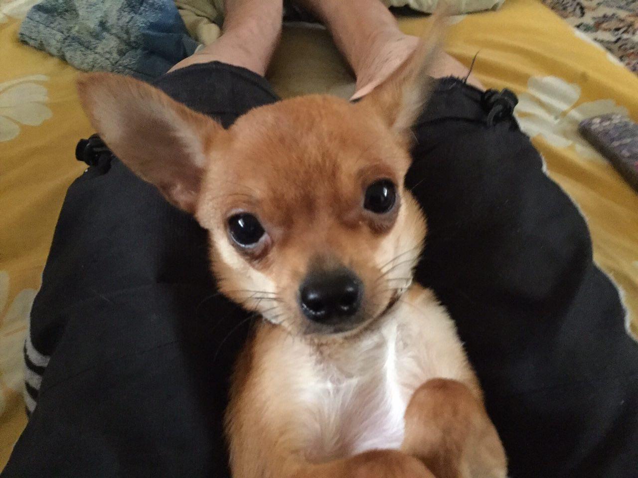 فروش توله سگ ۶ ماهه شی هواهوا