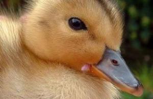 - فروش جوجه اردک در سنین مختلف